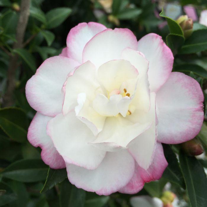 Camellia Sasanqua Paradise Blush  ] 3548100190P - Flower Power