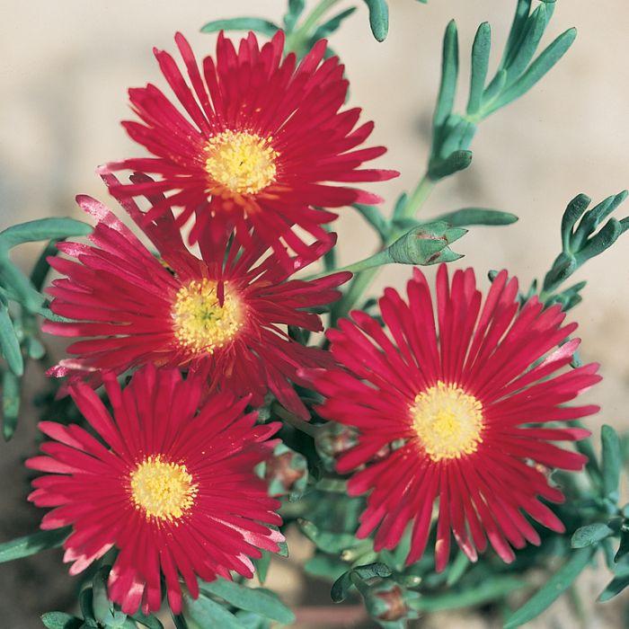 Pig Face Red  ] 3570000085P - Flower Power