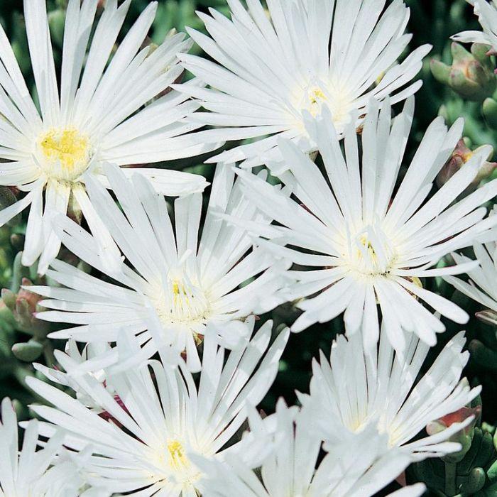 Pig Face White  ] 3570100085P - Flower Power