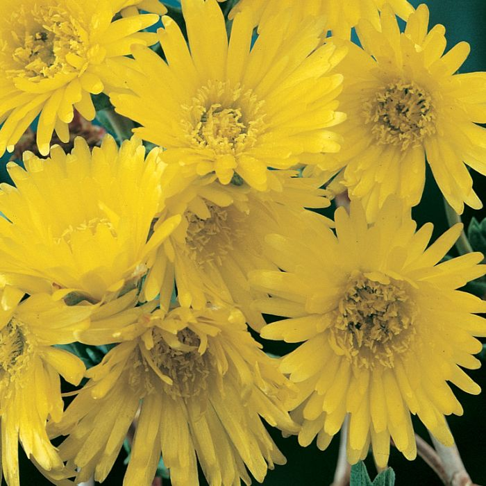 Pig Face Yellow  ] 3570200085P - Flower Power