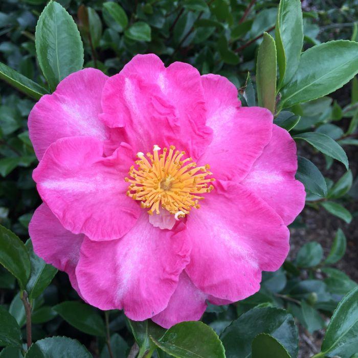 Camellia Sasanqua Paradise Belinda  ] 3659100190P - Flower Power