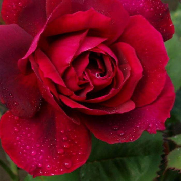 Black Boy Rose  ] 4780000200 - Flower Power