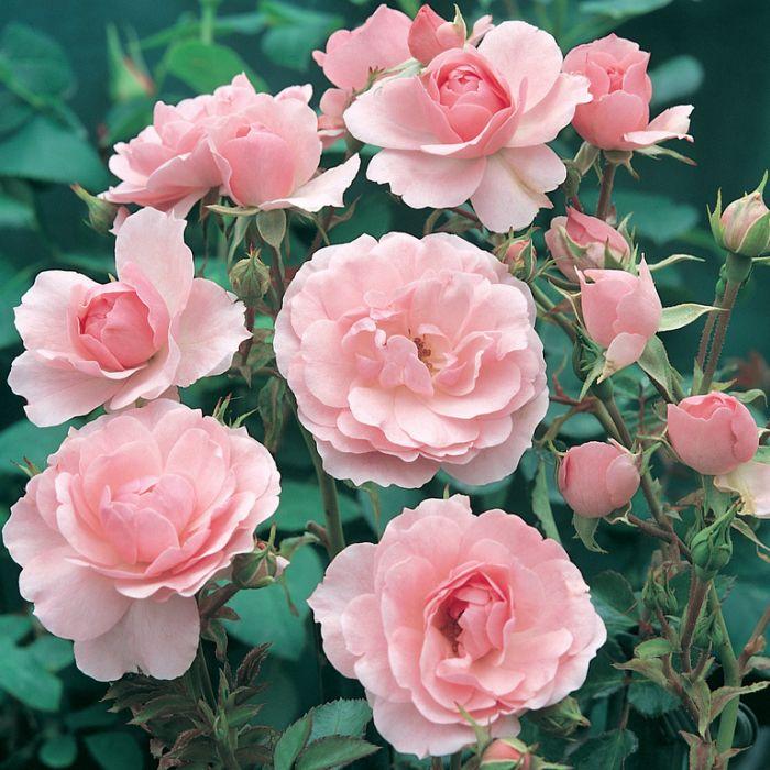 Bonica Rose  ] 4782000200P - Flower Power