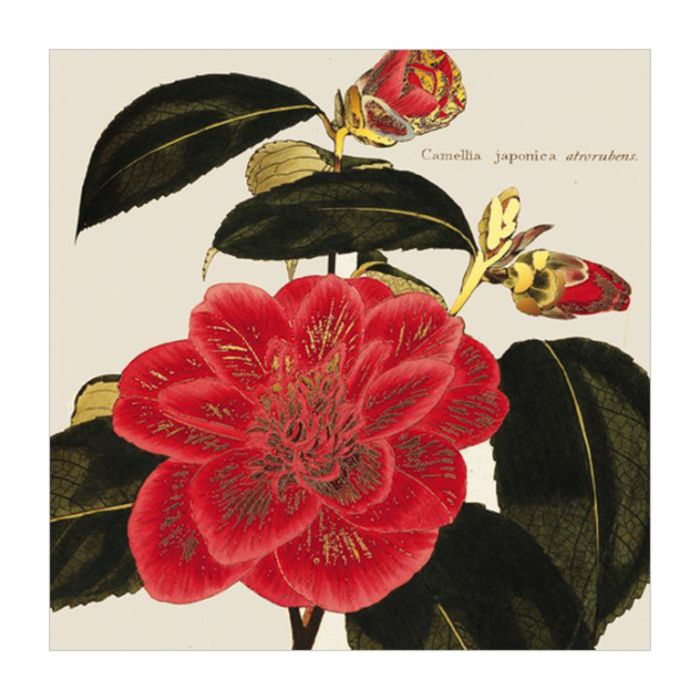 Almanac Gallery Camellia Japonica Card  ] 5015433636172 - Flower Power
