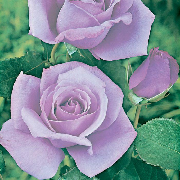 Blue Moon Rose  ] 5952000200 - Flower Power