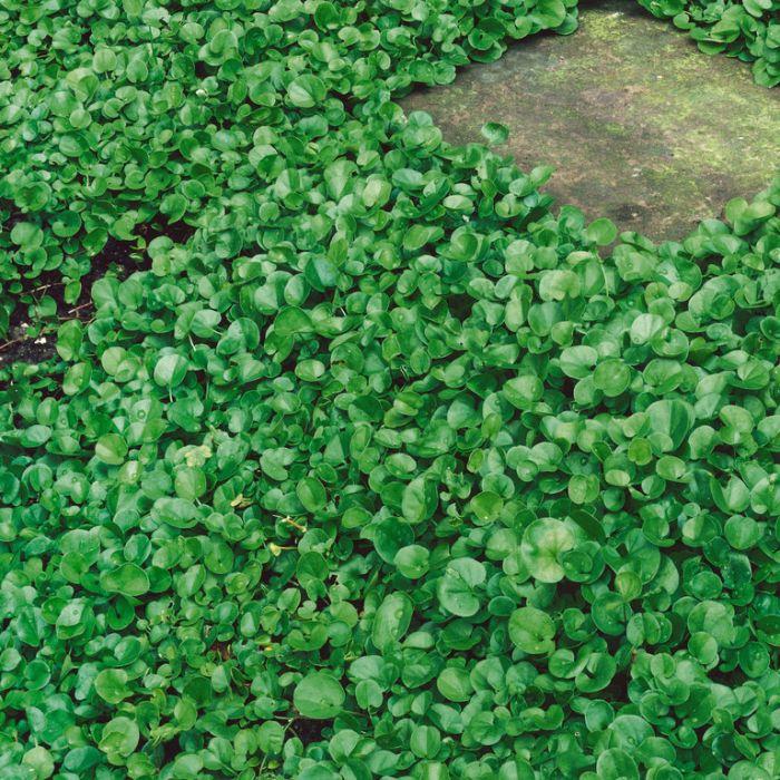 Dichondra Repens  ] 6551300085P - Flower Power