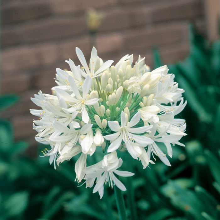 Agapanthus Snowballs  ] 6738700140P - Flower Power
