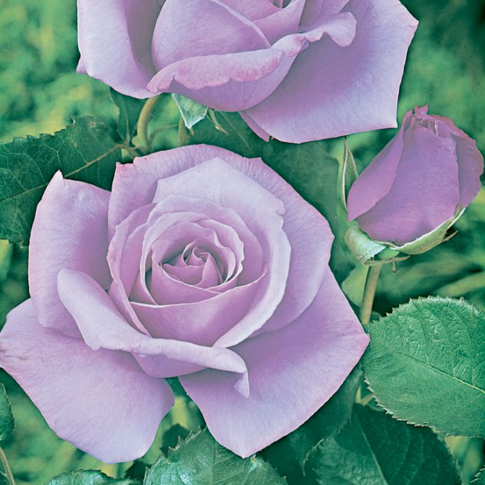 Blue Moon Rose Standard  ] 6812600250 - Flower Power