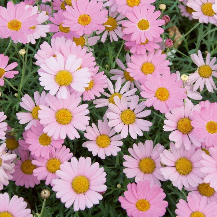 Federation Daisy Summit Pink  ] 6857500140P - Flower Power