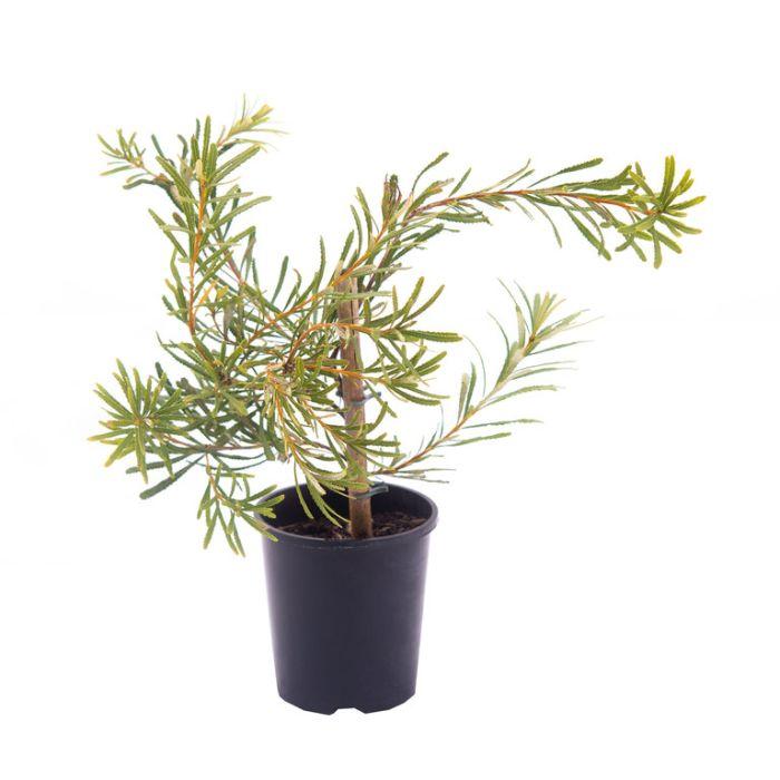 Banksia Honey Pots  ] 7022500140P - Flower Power
