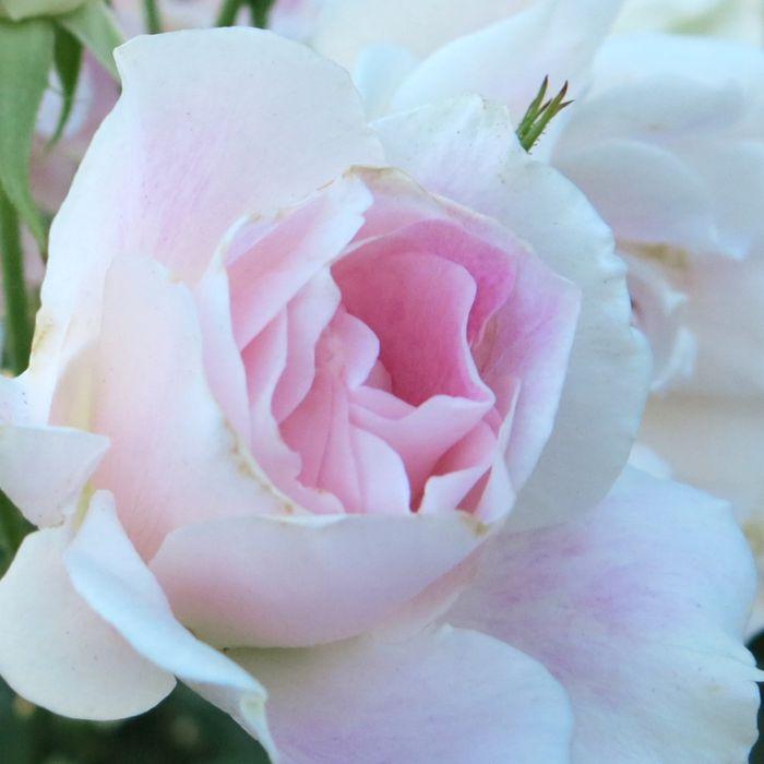 Blushing Pink Iceberg Rose  ] 7702300200 - Flower Power