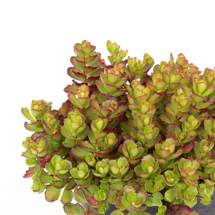 Sedum Dragons Blood Hanging Basket  ] 8010200017P - Flower Power