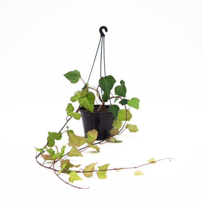 Hedera canariensis Hanging Basket  ] 8087900017P - Flower Power