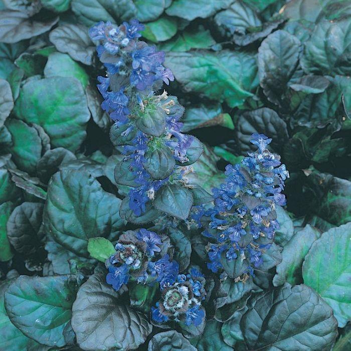 Ajuga Catlin's Giant  ] 8137500085P - Flower Power