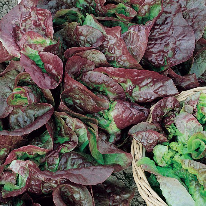 Lettuce Red Mignonette  ] 8335501002P - Flower Power