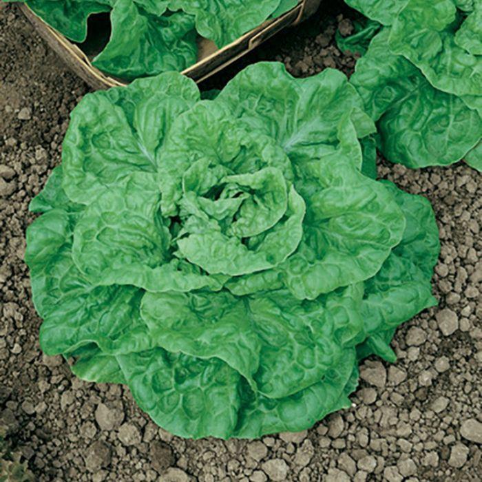 Lettuce Green Mignonette  ] 8335601002P - Flower Power