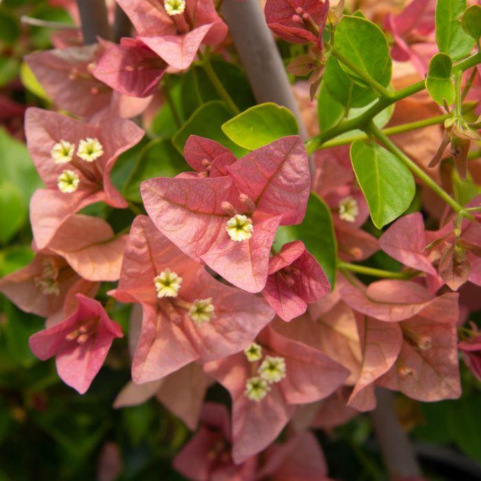Bougainvillea Pink Cluster  ] 8382000200P - Flower Power