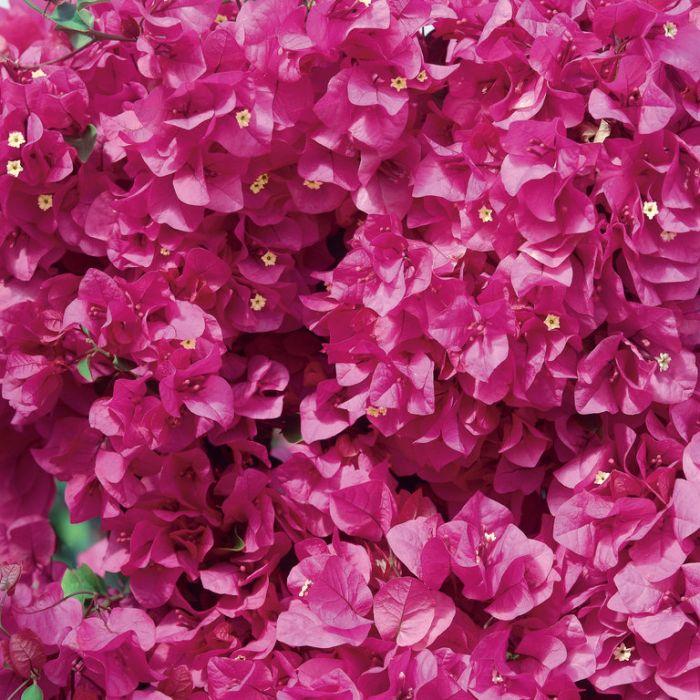 Bougainvillea Scarlet Glory  ] 8505210140P - Flower Power