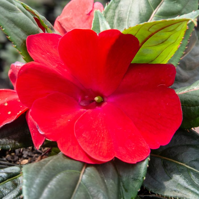 Impatiens 'Harmony Red' Hanging Basket  ] 9000480025 - Flower Power