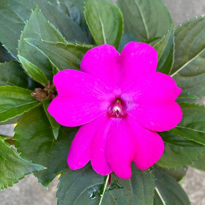 Impatiens Sun Harmony Violet Hanging Basket  ] 9000580030 - Flower Power
