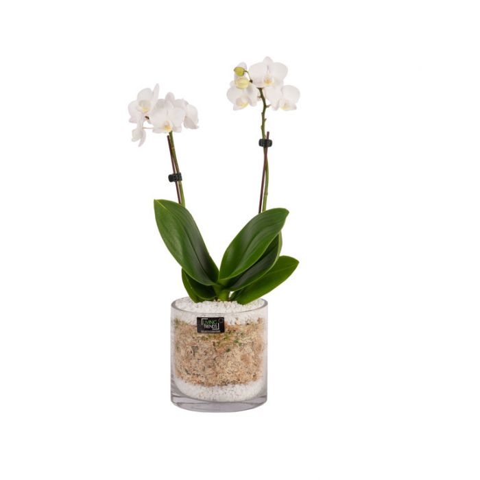 Living Trends Glass Cylinder Orchid  ] 9001209999 - Flower Power