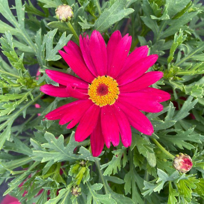 Federation Daisy Chameleon  ] 9003370140P - Flower Power