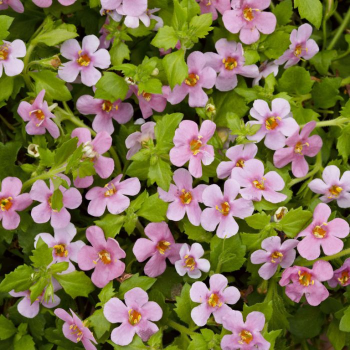 Bacopa Colossal Pink  ] 9003690140 - Flower Power