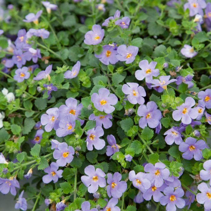 Bacopa Megacopa Blue  ] 9003740140P - Flower Power