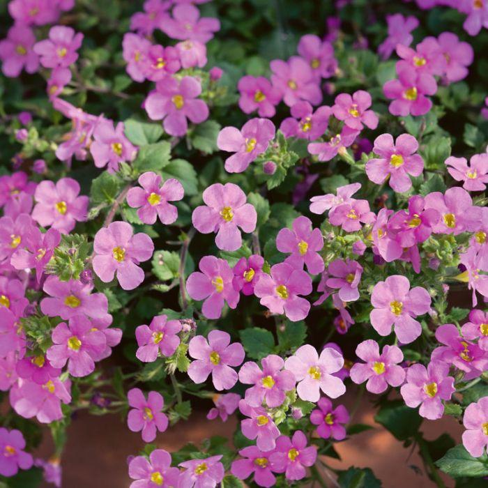Bacopa Great Pink Beauty  ] 9003870140 - Flower Power