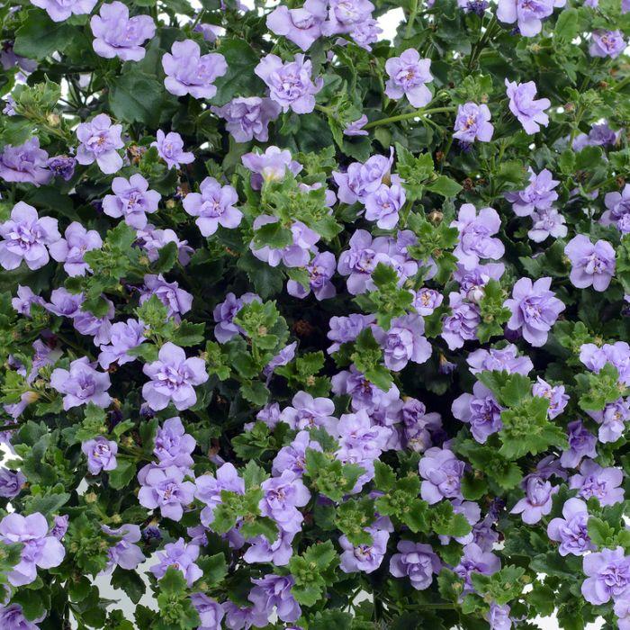 Bacopa Scopia Double Lavender  ] 9003880140 - Flower Power
