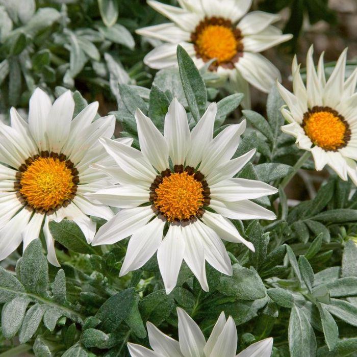 Gazania Frosty White  ] 9004000085P - Flower Power