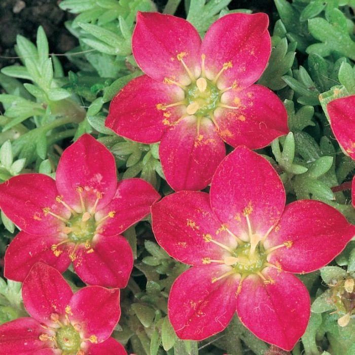 Saxifraga Red  ] 9004090085P - Flower Power