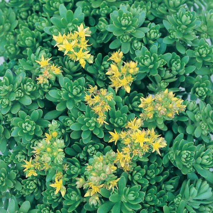 Sedum Green Mound  ] 9004100085 - Flower Power