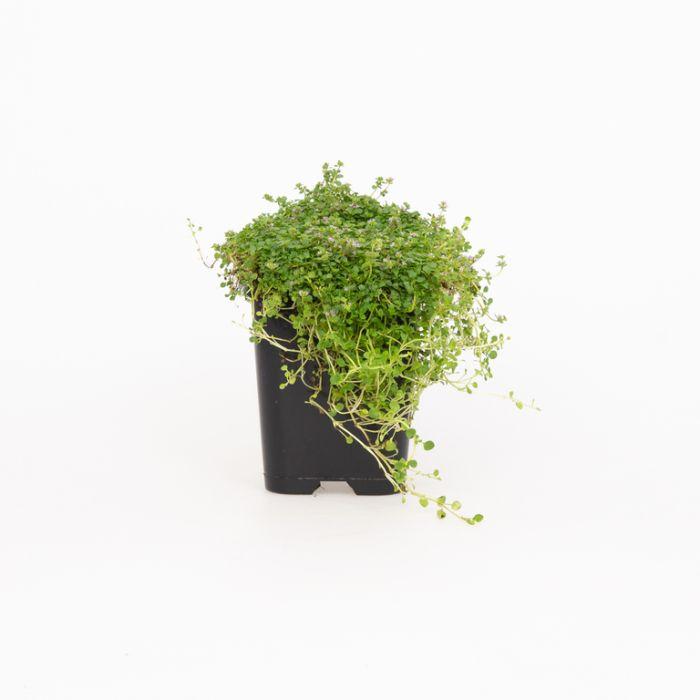 Corsican Mint  ] 9004480085P - Flower Power