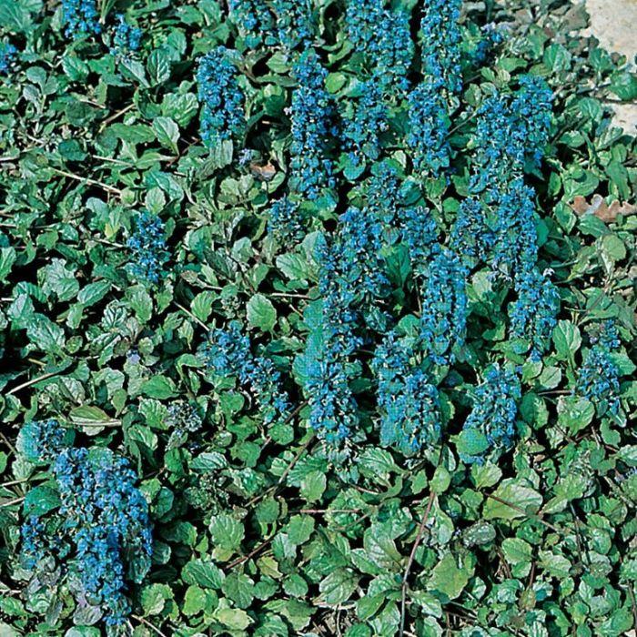Ajuga Reptans Blue  ] 9004710085P - Flower Power