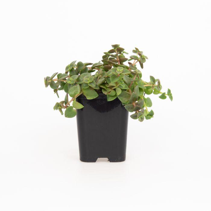 Crassula Dianne  ] 9004730085P - Flower Power