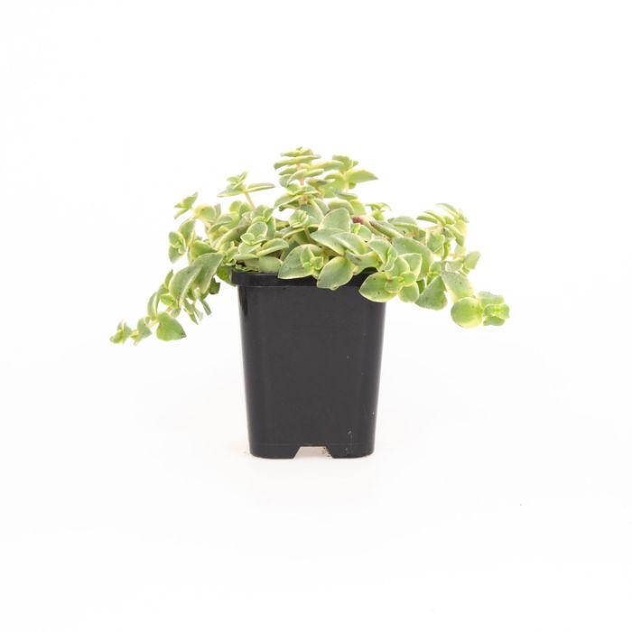Crassula Isabella  ] 9004750085 - Flower Power