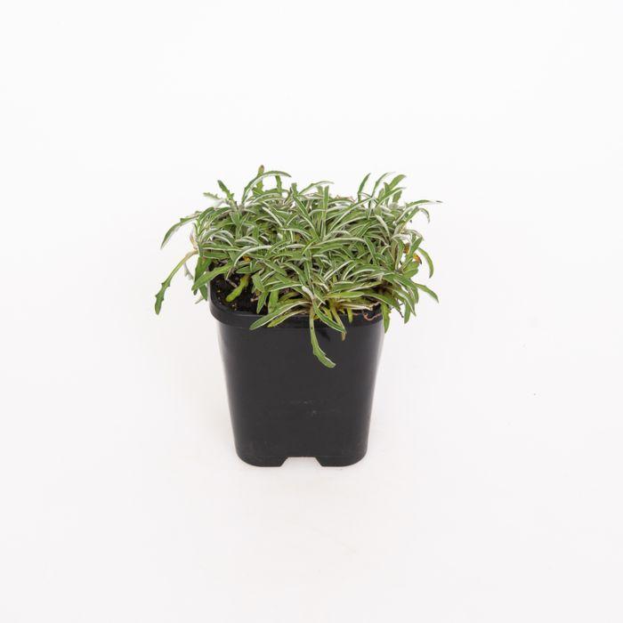 Dymondia Marguerite  ] 9004760085P - Flower Power
