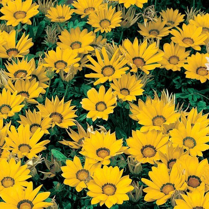 Gazania Bright Yellow  ] 9004780085 - Flower Power