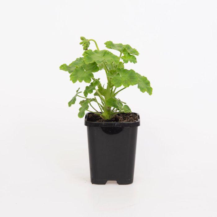 Geranium Lilac  ] 9004810085 - Flower Power