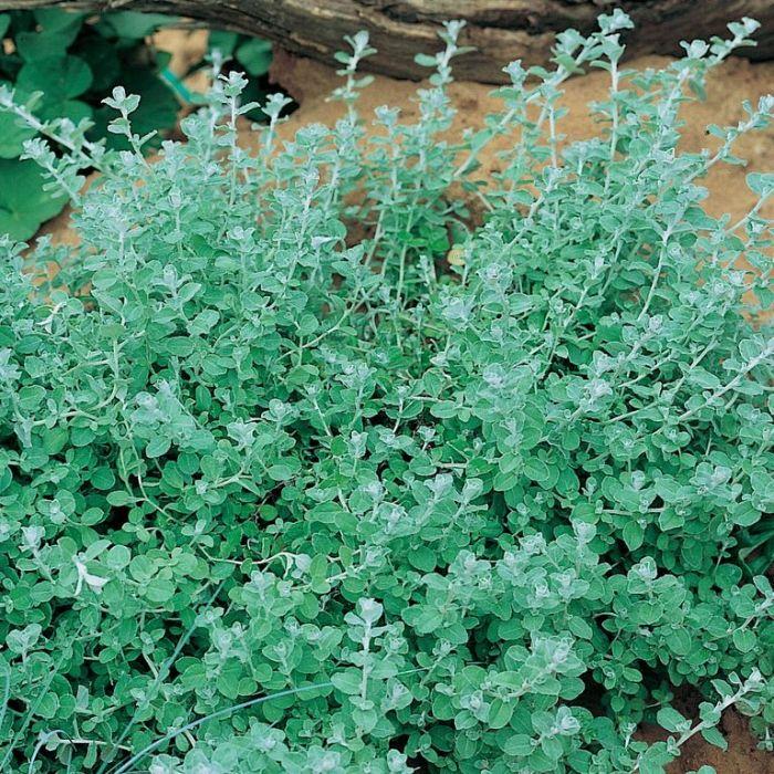 Helichrysum Silver Mist  ] 9004820085P - Flower Power
