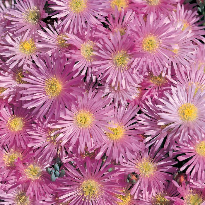 Lampranthus Filicaulis  ] 9004860085 - Flower Power