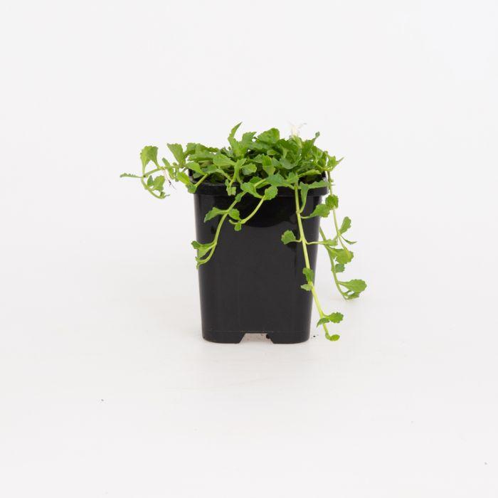 Mazus White  ] 9004880085P - Flower Power