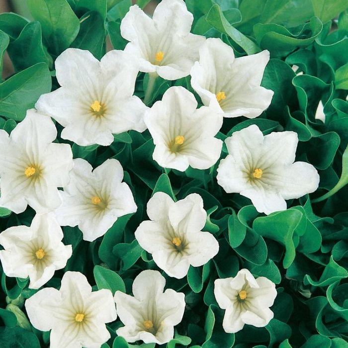 Nierembergia Repens  ] 9004890085 - Flower Power