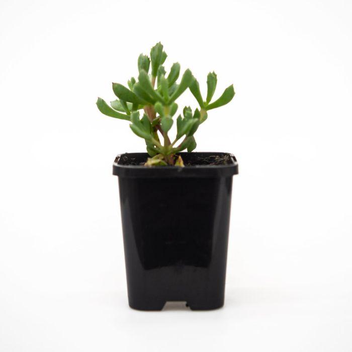 Oscularia Deltoides  ] 9004900085 - Flower Power