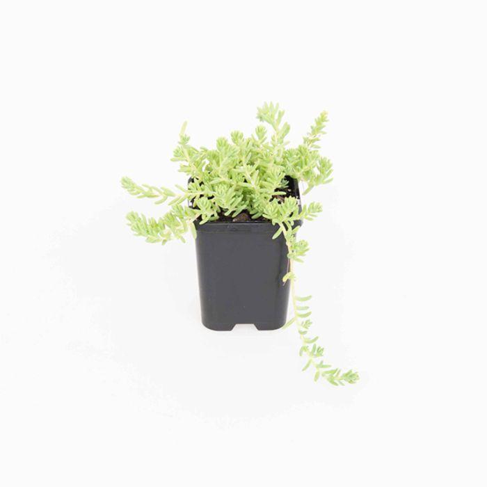 Sedum Potosinum  ] 9004950085 - Flower Power