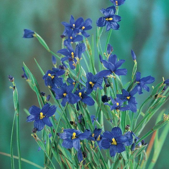 Sisyrinchium Bellum  ] 9004960085 - Flower Power
