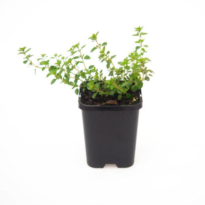 Thymus  ] 9004990085 - Flower Power