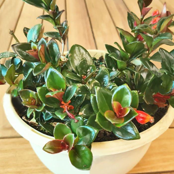 Dark Leaf Goldfish Plant Hanging Basket  ] 9005040020 - Flower Power