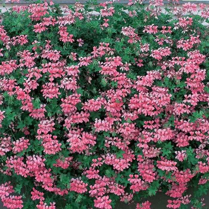 Geranium Ivy Pink  ] 9005130085 - Flower Power